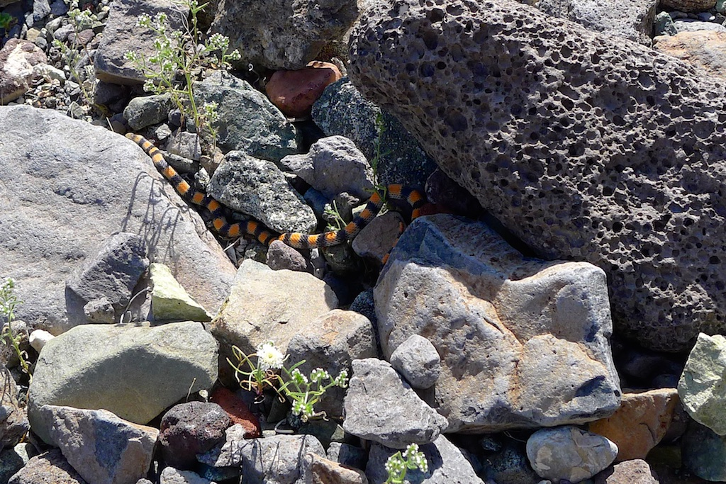 King or Coral Snake?